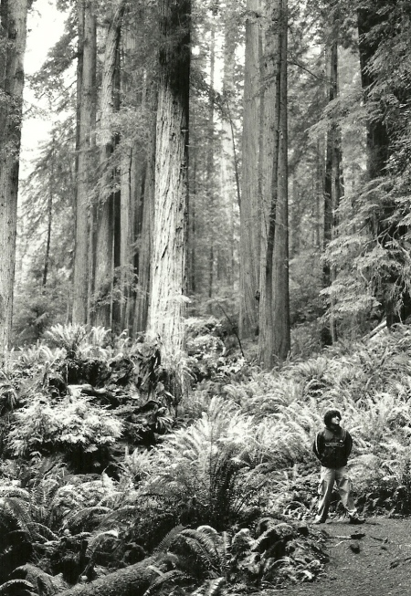In the Redwoods BW